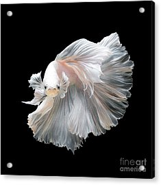Close Up Of White Platinum Betta Fish Acrylic Print by Nuamfolio