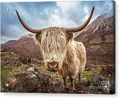 Close Up Portrait Of A Highland Cattle Acrylic Print