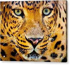 Close Up Portrait Of Leopard With Acrylic Print
