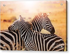 Close-up Portrait Of Mother Zebra With Acrylic Print