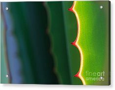 Close Up Thorn Of Agave Plant In The Acrylic Print