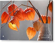 Closeup Of Delicate Physalis Flowers Acrylic Print
