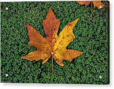 Clover Leaf Autumn Acrylic Print