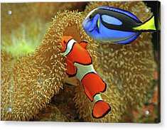 Clownfish And Regal Tang Acrylic Print