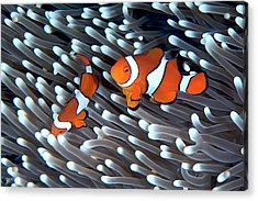Clownfish Acrylic Print by Copyright Melissa Fiene