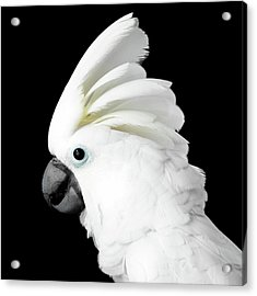 Cockatoo Alba Acrylic Print