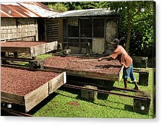 Coffee Beans Being Dried In Large Acrylic Print