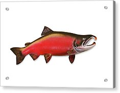 Coho Salmon With Clipping Path Acrylic Print by Georgepeters