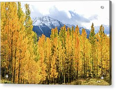 Colorado Aspens And Mountains 1 Acrylic Print