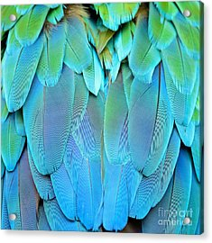 Colorful Feathers, Harlequin Macaw Acrylic Print