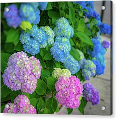 Colorful Hydrangeas Acrylic Print