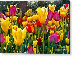 Colorful Tulips In The Park. Spring Acrylic Print