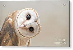 Common Barn Owl  Tyto Albahead  Head Acrylic Print
