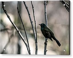 Common Grackle Acrylic Print by By Ken Ilio
