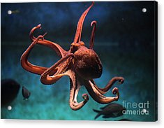Common Octopus Octopus Vulgaris Acrylic Print