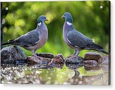 Common Wood Pigeons Meeting At The Waterhole Acrylic Print