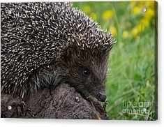 Cool Hedgehog On The Ground At Nature Acrylic Print
