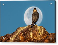 Coopers Hawk With Moon Acrylic Print