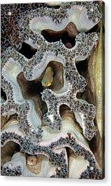 Coral Maze Acrylic Print