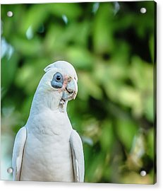 Acrylic Print featuring the photograph Corellas Outside During The Afternoon. by Rob D