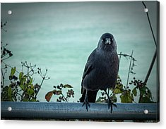 Cornish Crow Acrylic Print