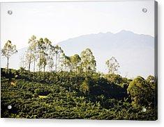 Costa Rica, Alajuela, Coffee Plants At Acrylic Print by Bob Stefko