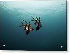Couple Of Fish Acrylic Print by Underwater Graphics