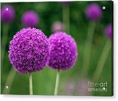 Couple Of The Allium Purple Flowers Acrylic Print