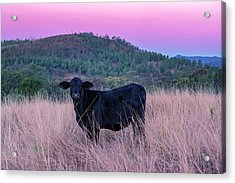 Cow Outside In The Paddock Acrylic Print