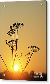 Acrylic Print featuring the photograph Cow Parsley Seed Heads Silhouette by Tim Gainey