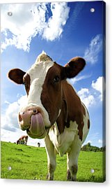 Cow Sticking Its Tongue Out Acrylic Print