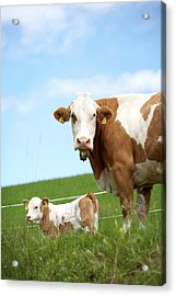 Cow With Calf On Meadow Acrylic Print by Arne Pastoor / Stock4b