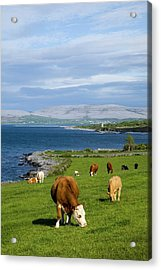 Cows Grazing On The Burren Coast Near Acrylic Print