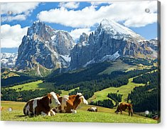 Cows In Fields, South Tyrol, Italy Acrylic Print