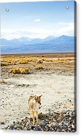 Coyote, Death Valley National Park Acrylic Print