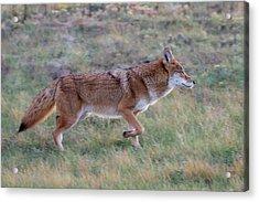 Coyote Portrait Acrylic Print