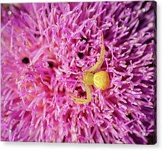 Crab Spider Acrylic Print