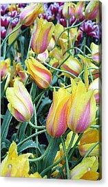 Crazy Tulips Acrylic Print
