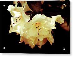 Creamy Rhododendron Acrylic Print