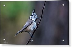 Crested Tit On A Twig Acrylic Print