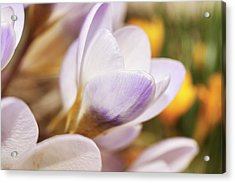 Acrylic Print featuring the photograph Crocus by Whitney Goodey