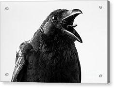 Crow In Studio Acrylic Print