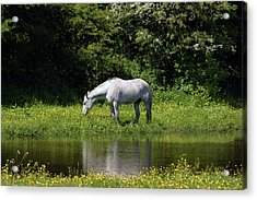 Cumbria. Ulverston. Horse By The Canal Acrylic Print