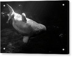 Curious Beluga Acrylic Print