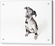 Curious Puppy Acrylic Print