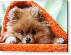 Cute And Funny Puppy Pomeranian Smiling Acrylic Print by Barinovalena