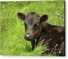 Cute Cow Acrylic Print
