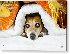Cute Dog Peeking Out From Under The Acrylic Print