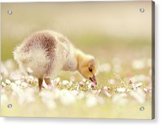 Cute Overload Series - Grazing Gosling Acrylic Print