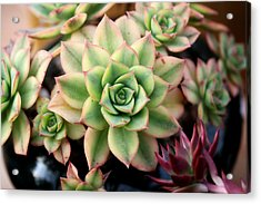 Acrylic Print featuring the photograph Cute Succulent by Top Wallpapers
